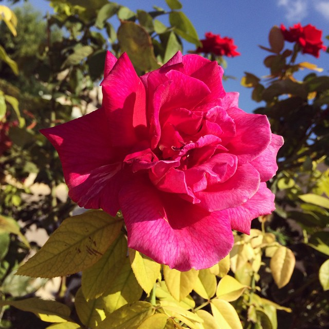 So many stunning natural gardens around our pool ?☀️? #lbloggers #travelbloggers #holiday #roses #gardens #nature